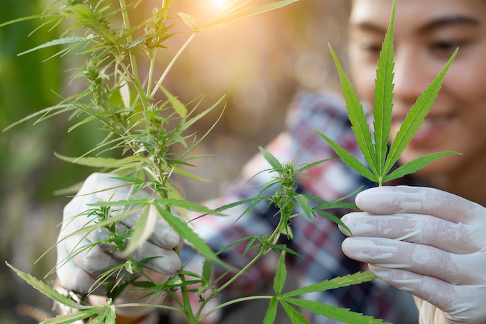 Young farmers wear gloves to check marijuana trees. Concept of herbal alternative medicine,
