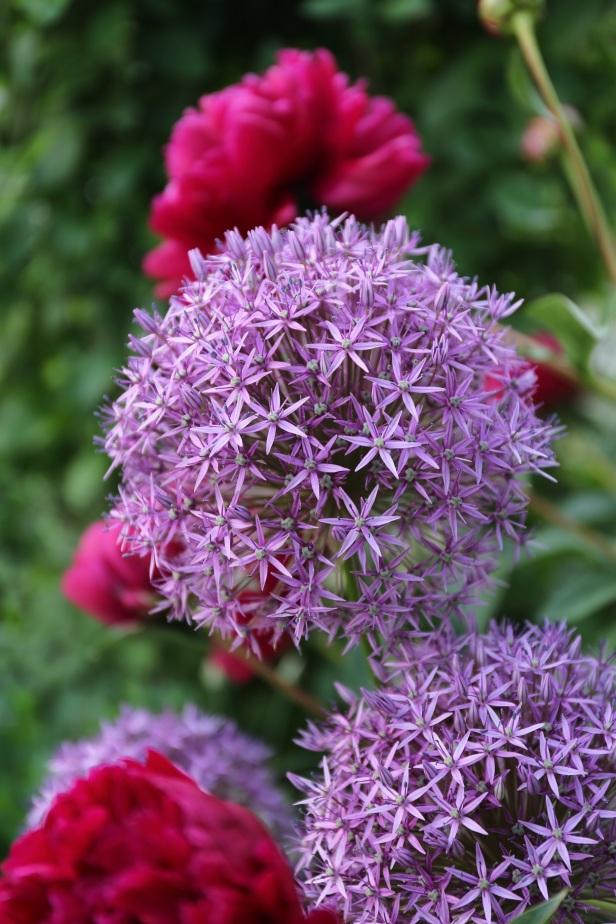 Allium Globemaster_photo_credit_Longfield Gardens 300dpi