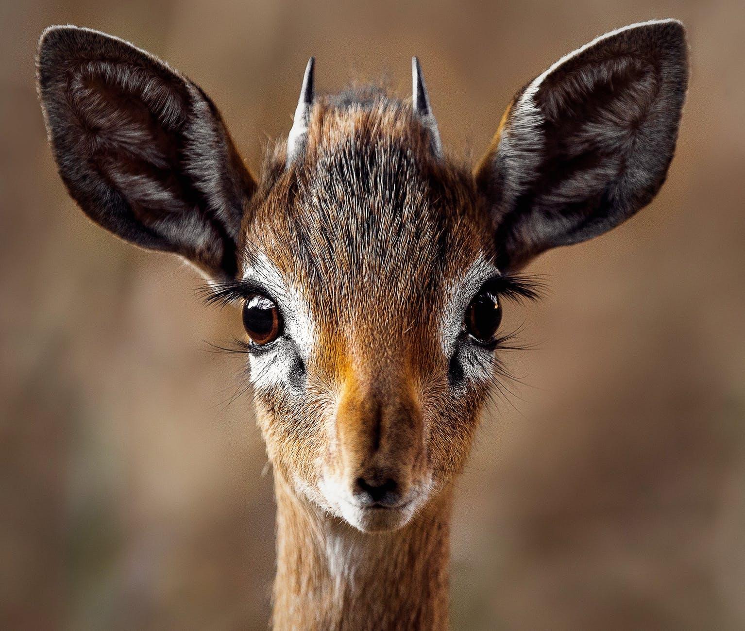 close up portrait of a antelope