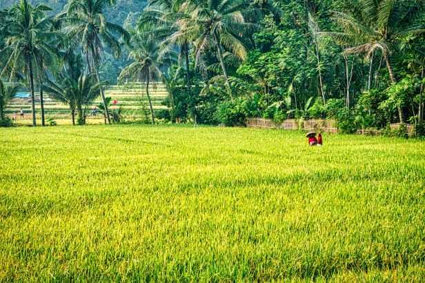 rice plant field