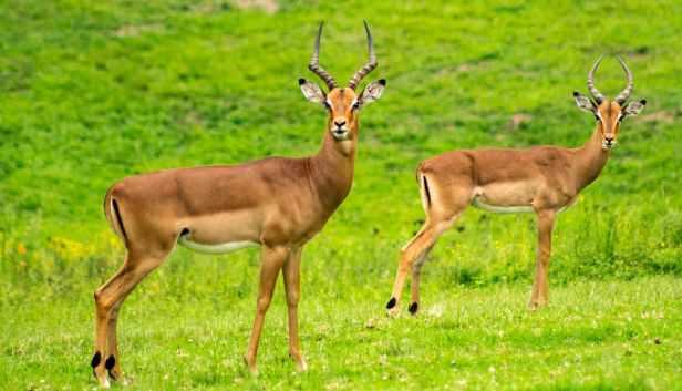 animals antelope close up deers