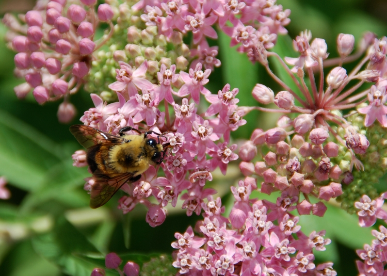 Bee on Swamp Milkweed - Asclepias incarnata